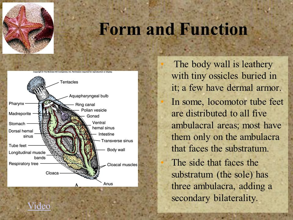 Form and Function The body wall is leathery with tiny ossicles buried in it; a few have dermal armor.