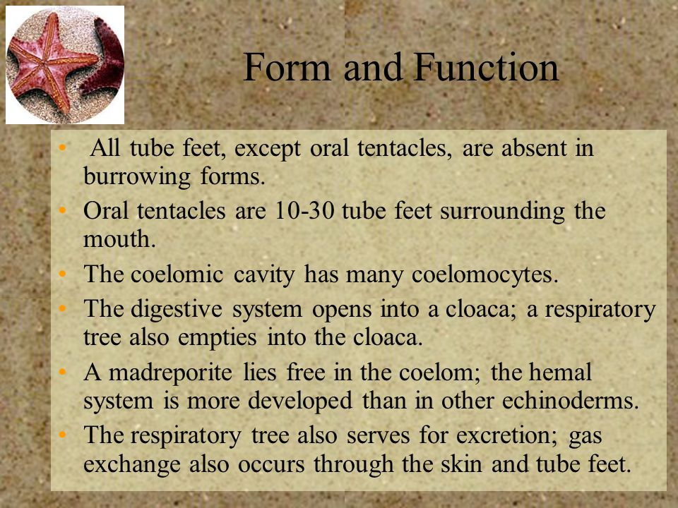 Form and Function All tube feet, except oral tentacles, are absent in burrowing forms. Oral tentacles are 10-30 tube feet surrounding the mouth.