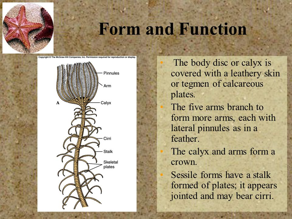 Form and Function The body disc or calyx is covered with a leathery skin or tegmen of calcareous plates.