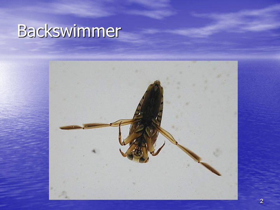 Backswimmer