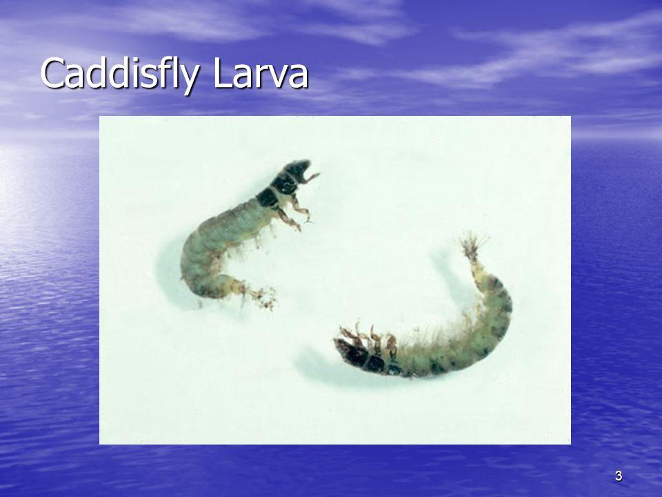 Caddisfly Larva