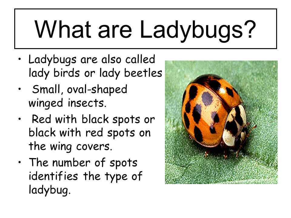 What are Ladybugs Ladybugs are also called lady birds or lady beetles