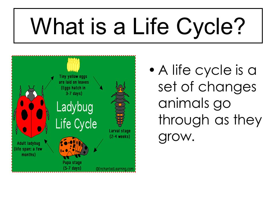 What is a Life Cycle A life cycle is a set of changes animals go through as they grow.