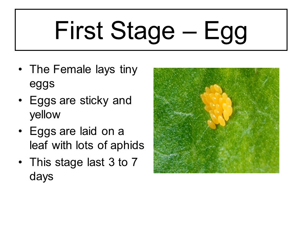 First Stage – Egg The Female lays tiny eggs Eggs are sticky and yellow