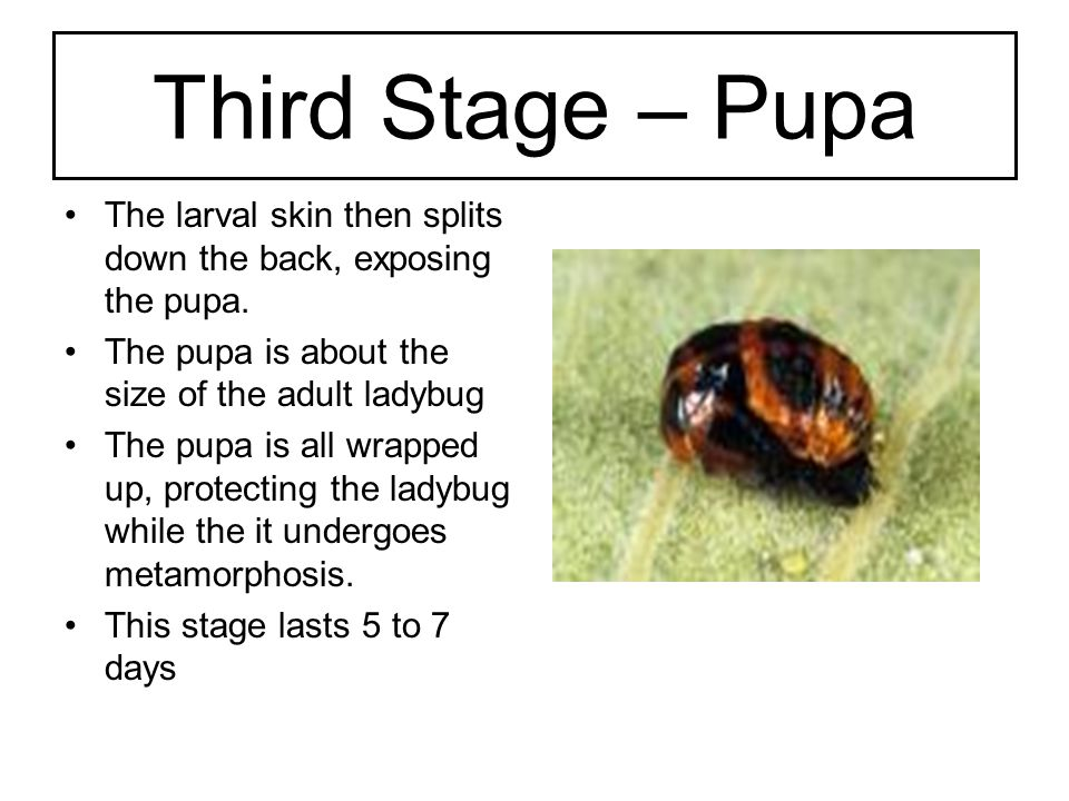Third Stage – Pupa The larval skin then splits down the back, exposing the pupa. The pupa is about the size of the adult ladybug.