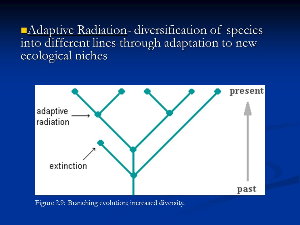 Adaptive Radiation- diversification of species into different lines through adaptation to new ecological niches