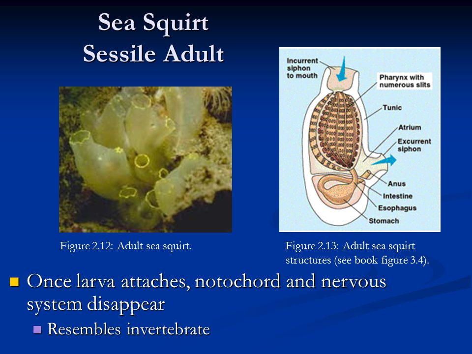 Sea Squirt Sessile Adult