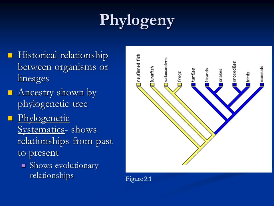 Phylogeny Historical relationship between organisms or lineages