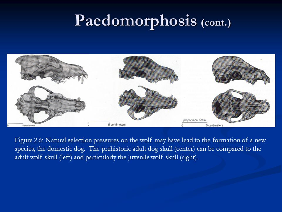 Paedomorphosis (cont.)
