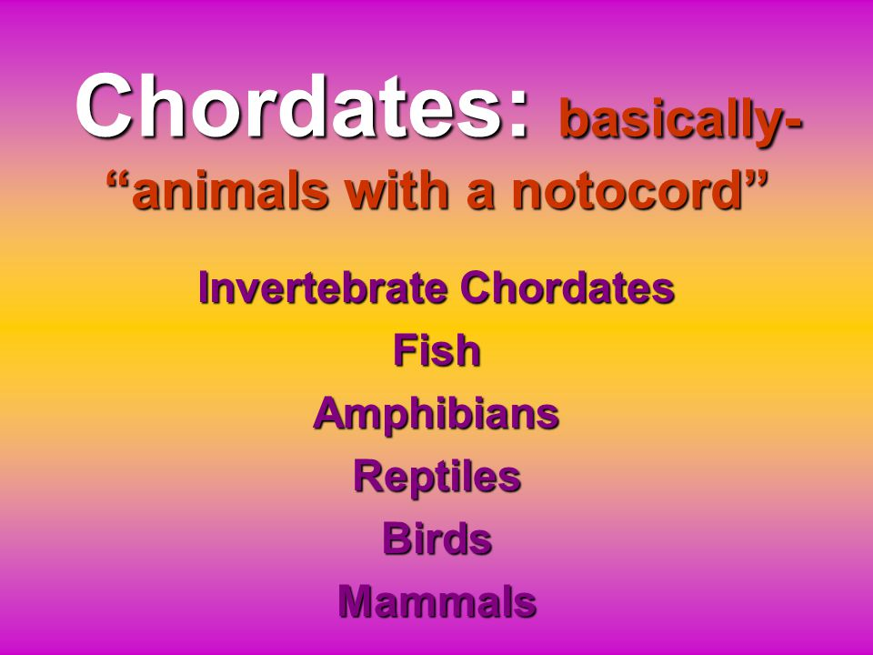 Chordates: basically- animals with a notocord