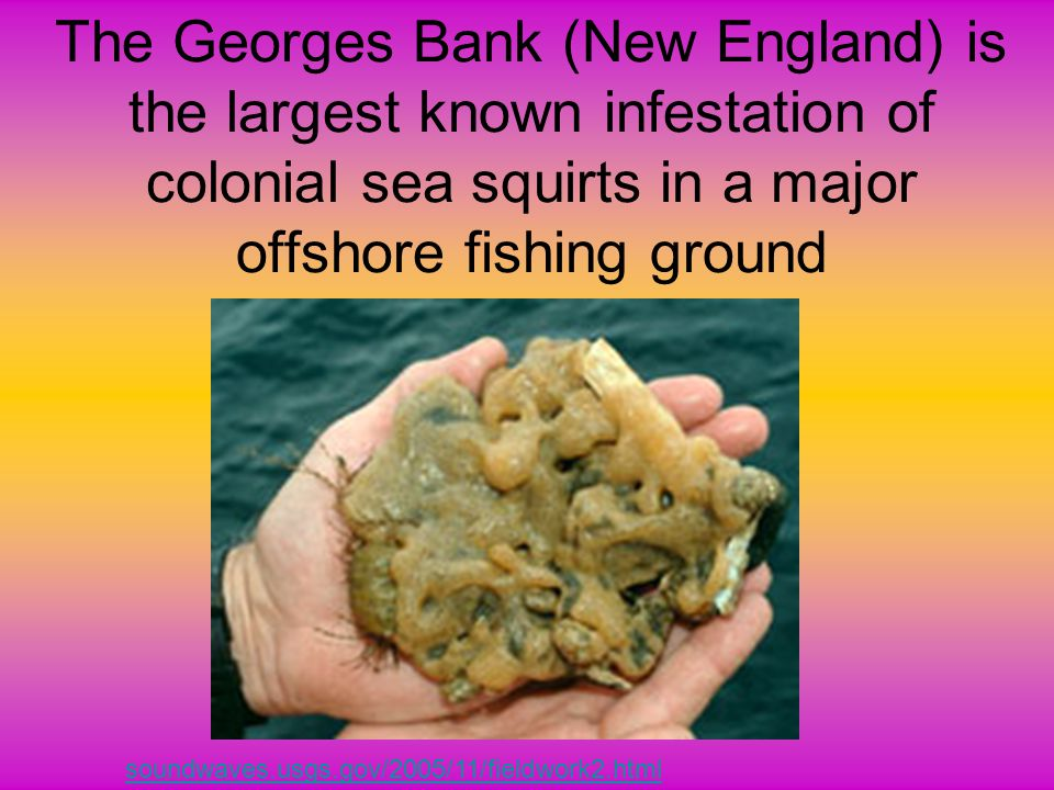 The Georges Bank (New England) is the largest known infestation of colonial sea squirts in a major offshore fishing ground