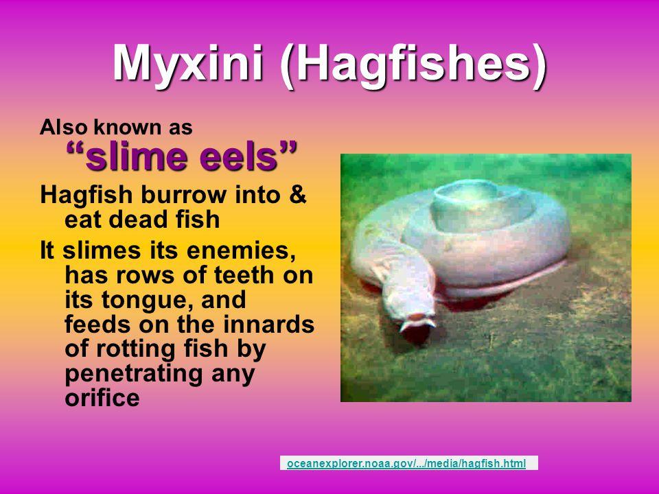 Myxini (Hagfishes) Hagfish burrow into & eat dead fish