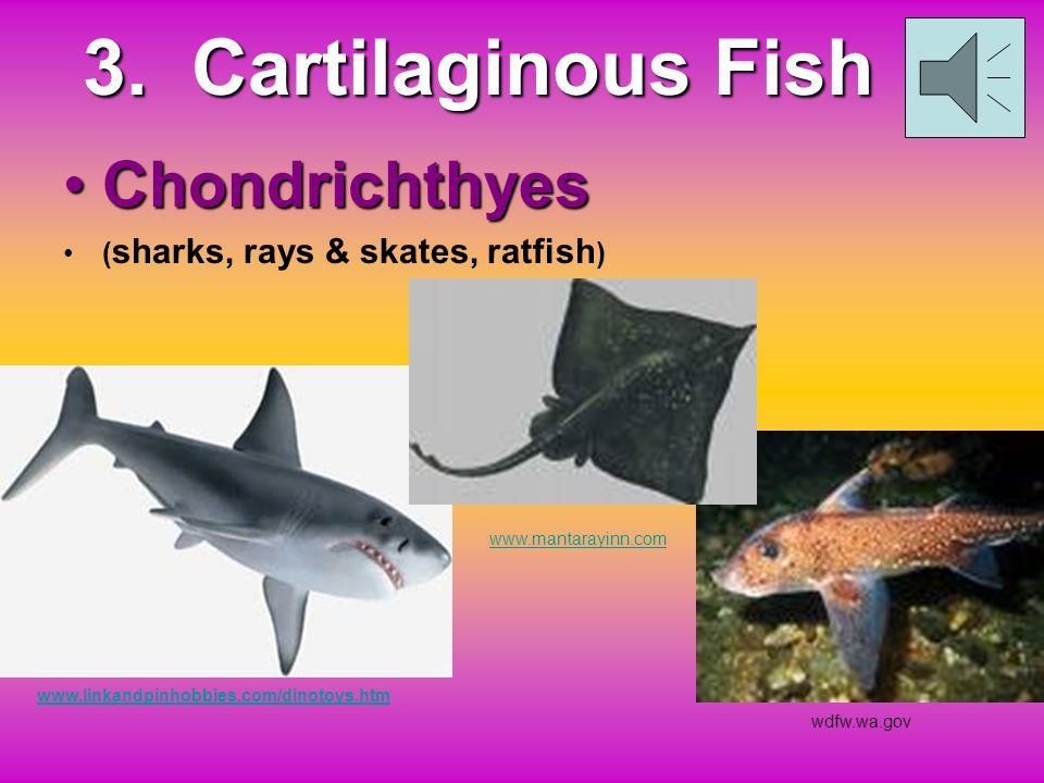 3. Cartilaginous Fish Chondrichthyes (sharks, rays & skates, ratfish)