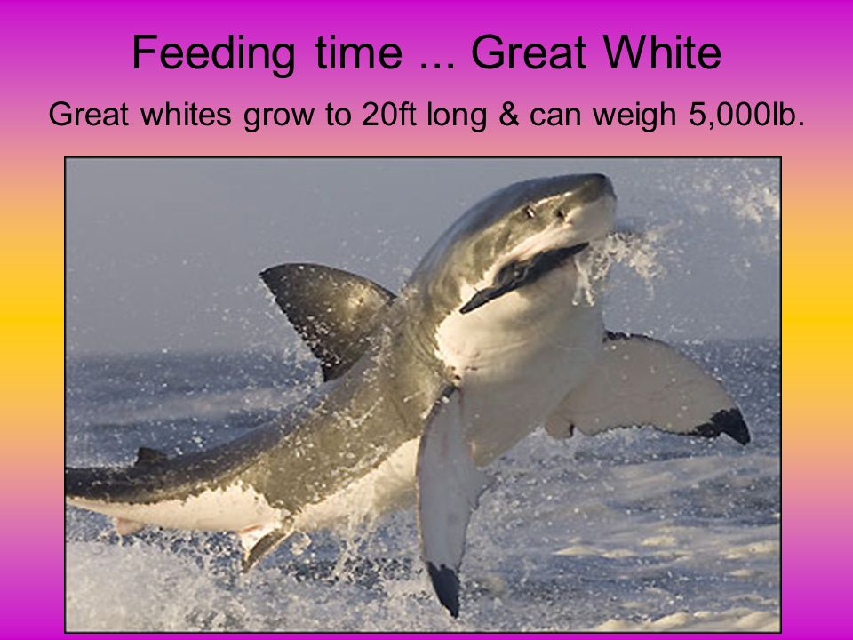 Feeding time ... Great White Great whites grow to 20ft long & can weigh 5,000lb.