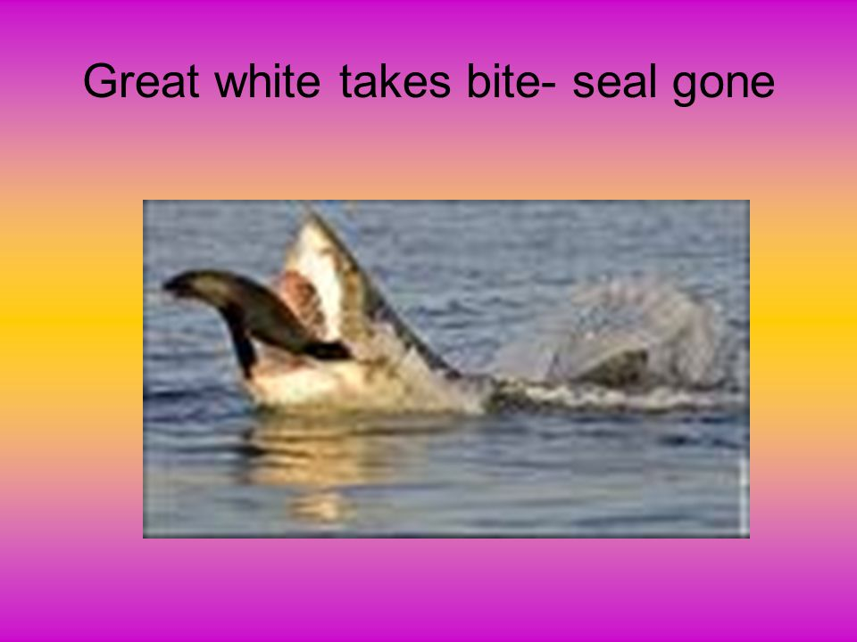 Great white takes bite- seal gone
