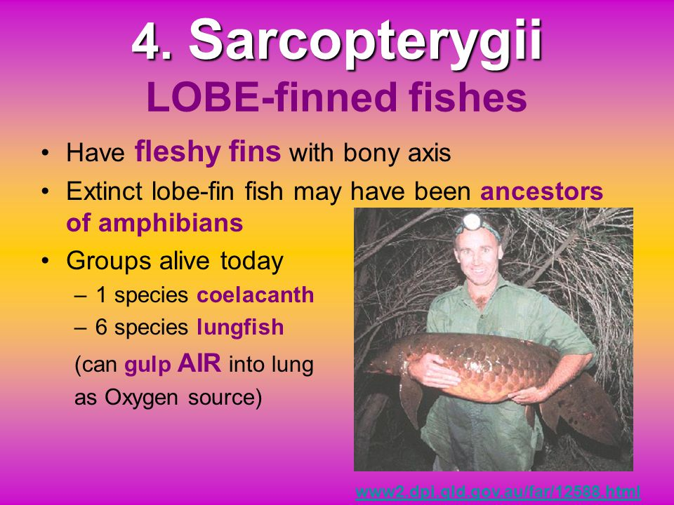 4. Sarcopterygii LOBE-finned fishes