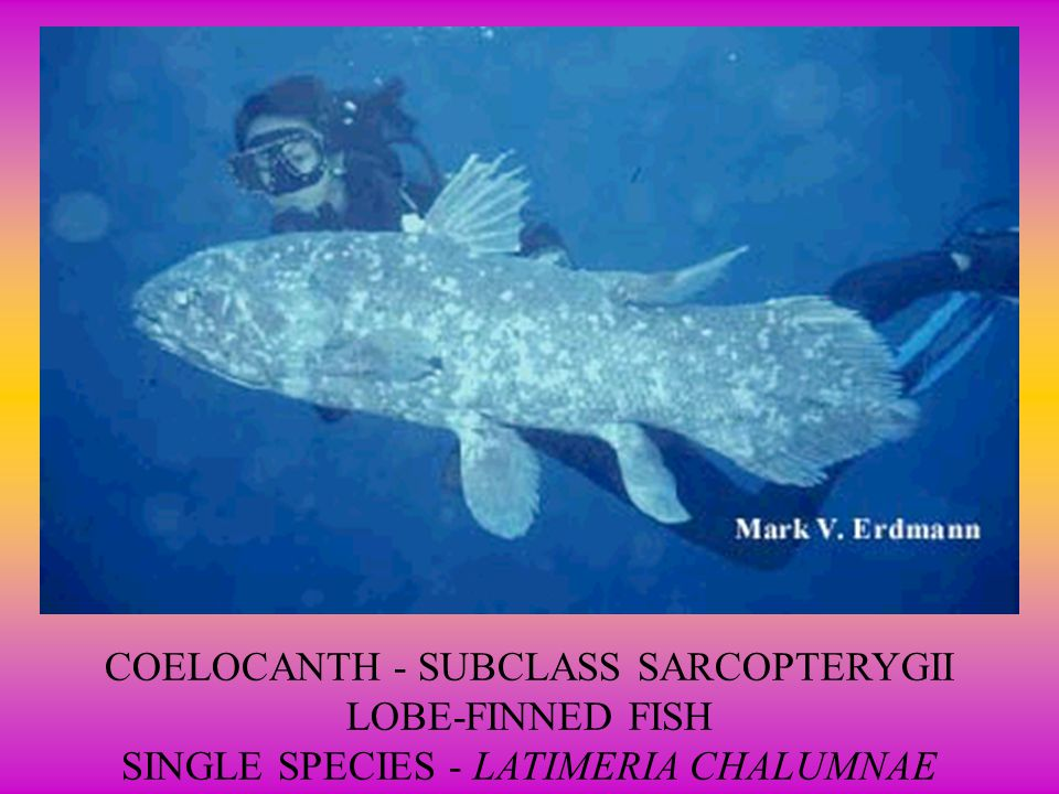 COELOCANTH - SUBCLASS SARCOPTERYGII LOBE-FINNED FISH