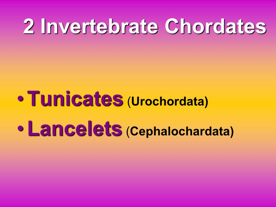 2 Invertebrate Chordates
