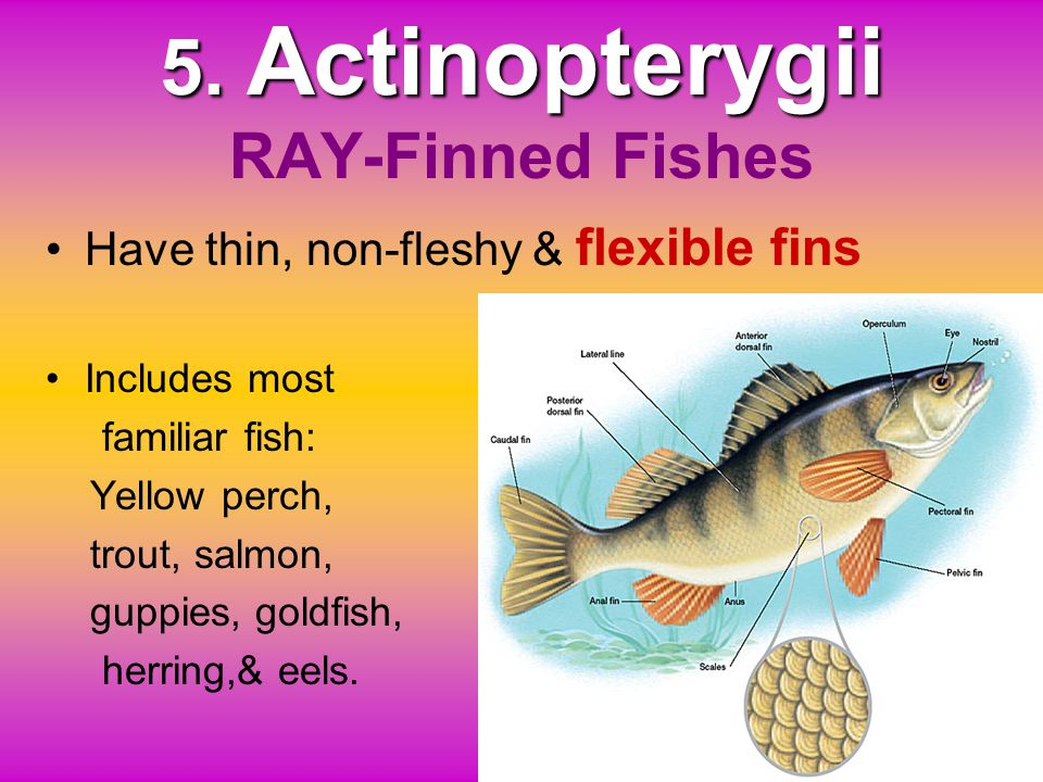 5. Actinopterygii RAY-Finned Fishes