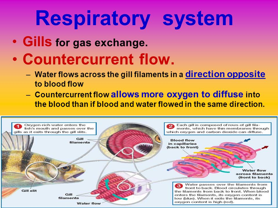 Respiratory system Countercurrent flow. Gills for gas exchange.