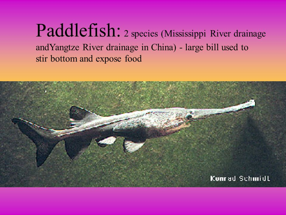Paddlefish: 2 species (Mississippi River drainage