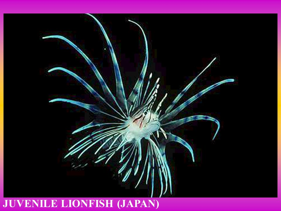 JUVENILE LIONFISH (JAPAN)