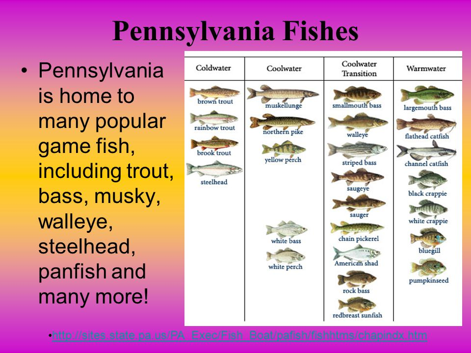 Pennsylvania Fishes Pennsylvania is home to many popular game fish, including trout, bass, musky, walleye, steelhead, panfish and many more!
