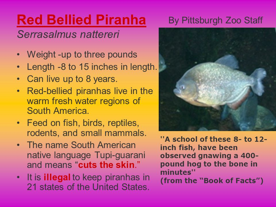 Red Bellied Piranha Serrasalmus nattereri