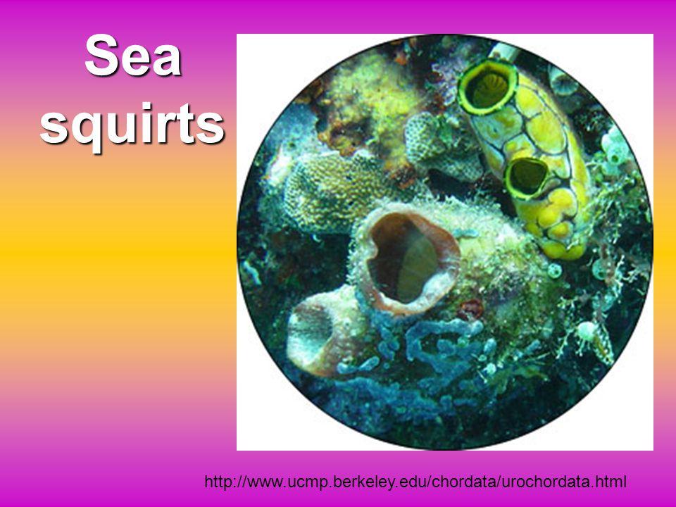 Sea squirts http://www.ucmp.berkeley.edu/chordata/urochordata.html