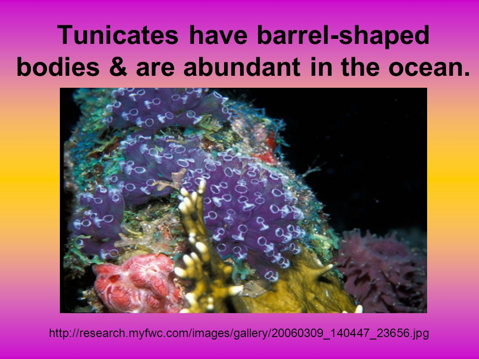 Tunicates have barrel-shaped bodies & are abundant in the ocean.