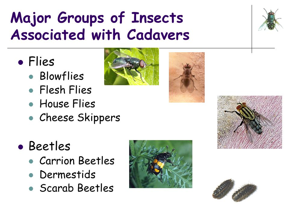 Major Groups of Insects Associated with Cadavers