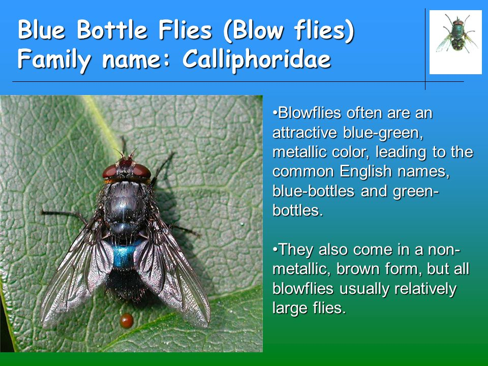 Blue Bottle Flies (Blow flies) Family name: Calliphoridae