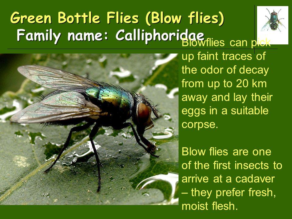 Green Bottle Flies (Blow flies) Family name: Calliphoridae