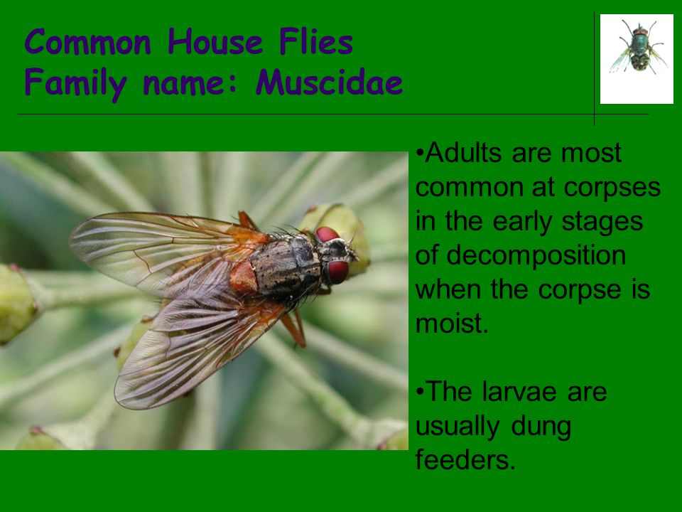 Common House Flies Family name: Muscidae