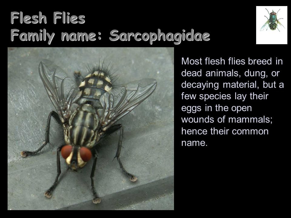 Flesh Flies Family name: Sarcophagidae
