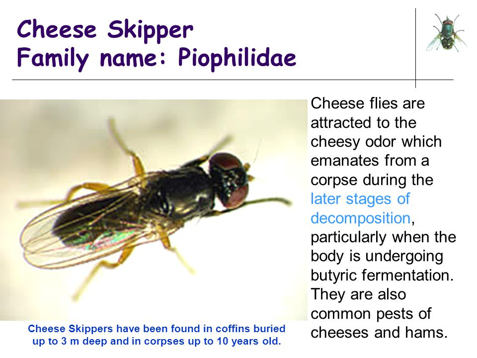 Cheese Skipper Family name: Piophilidae