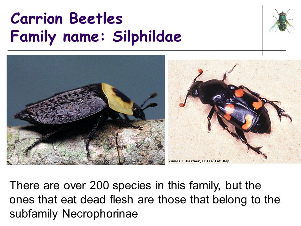 Carrion Beetles Family name: Silphildae