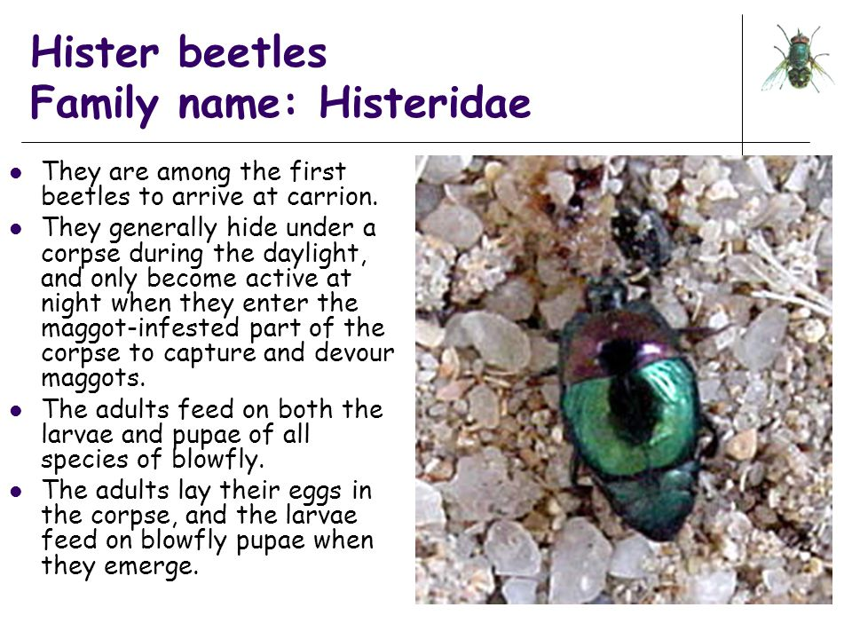 Hister beetles Family name: Histeridae