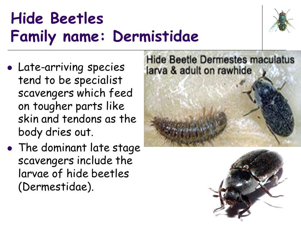 Hide Beetles Family name: Dermistidae