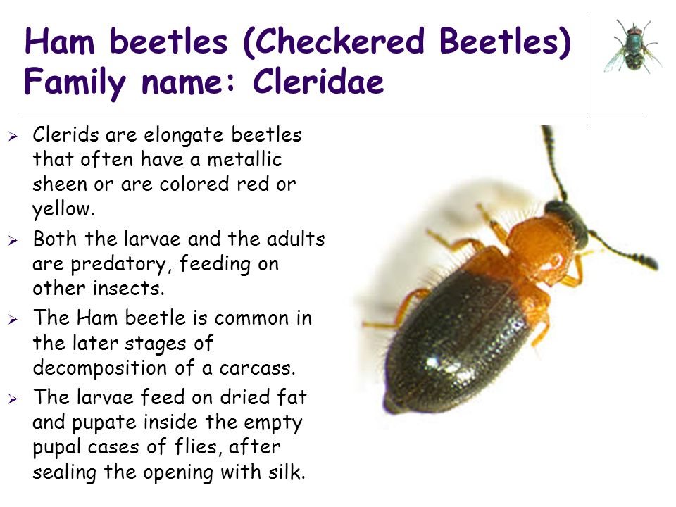 Ham beetles (Checkered Beetles) Family name: Cleridae