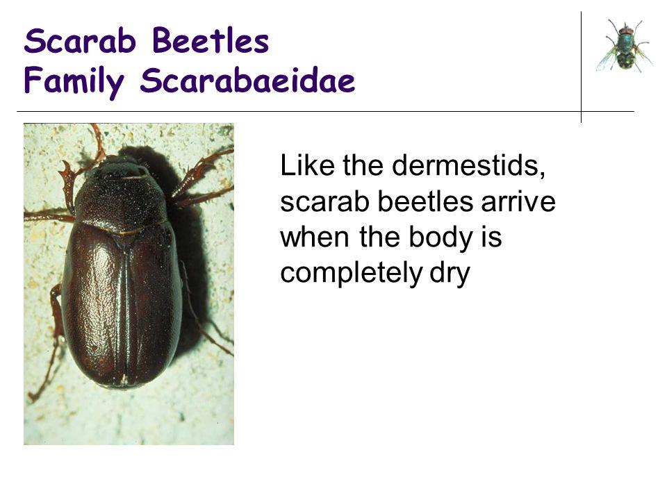Scarab Beetles Family Scarabaeidae