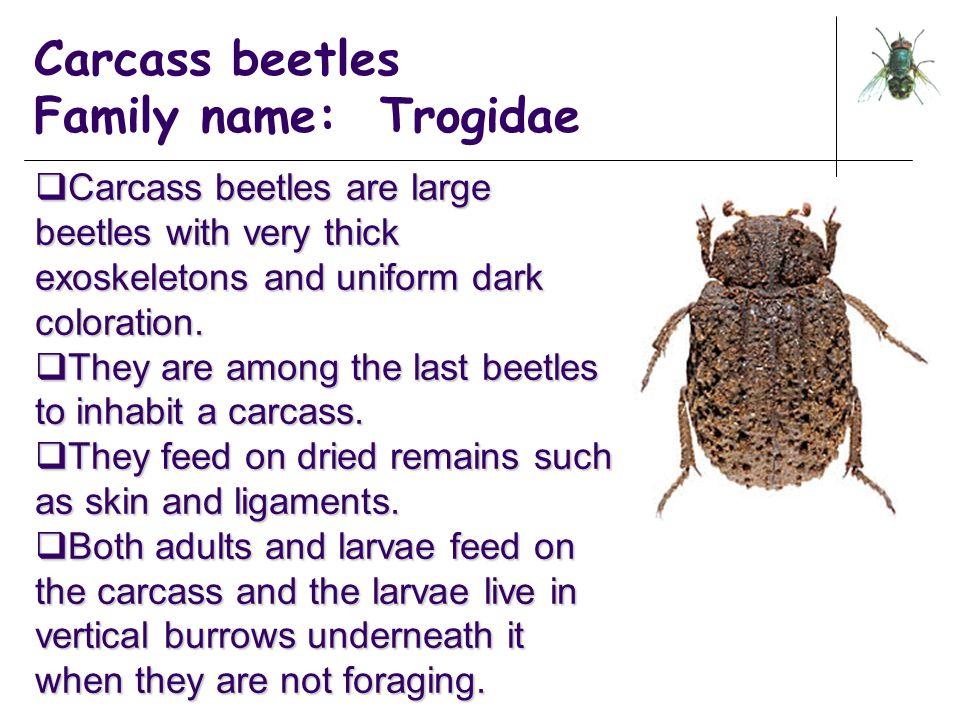 Carcass beetles Family name: Trogidae
