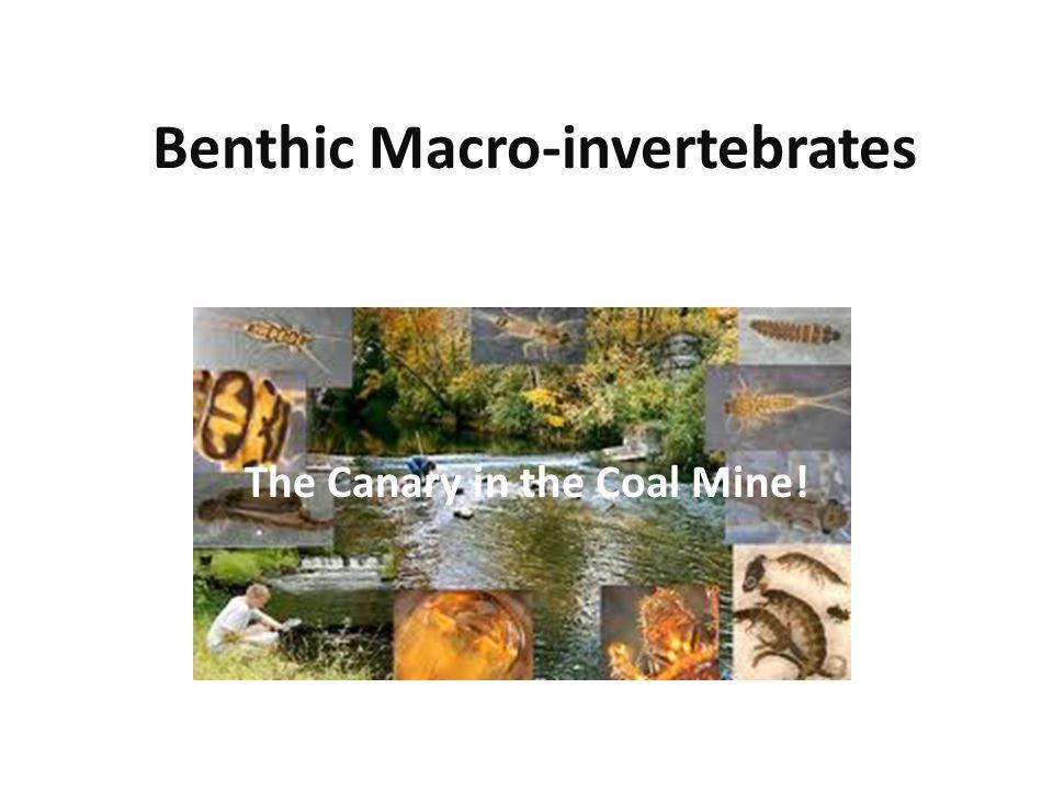 Benthic Macro-invertebrates