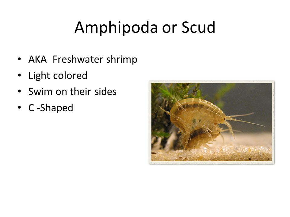 Amphipoda or Scud AKA Freshwater shrimp Light colored