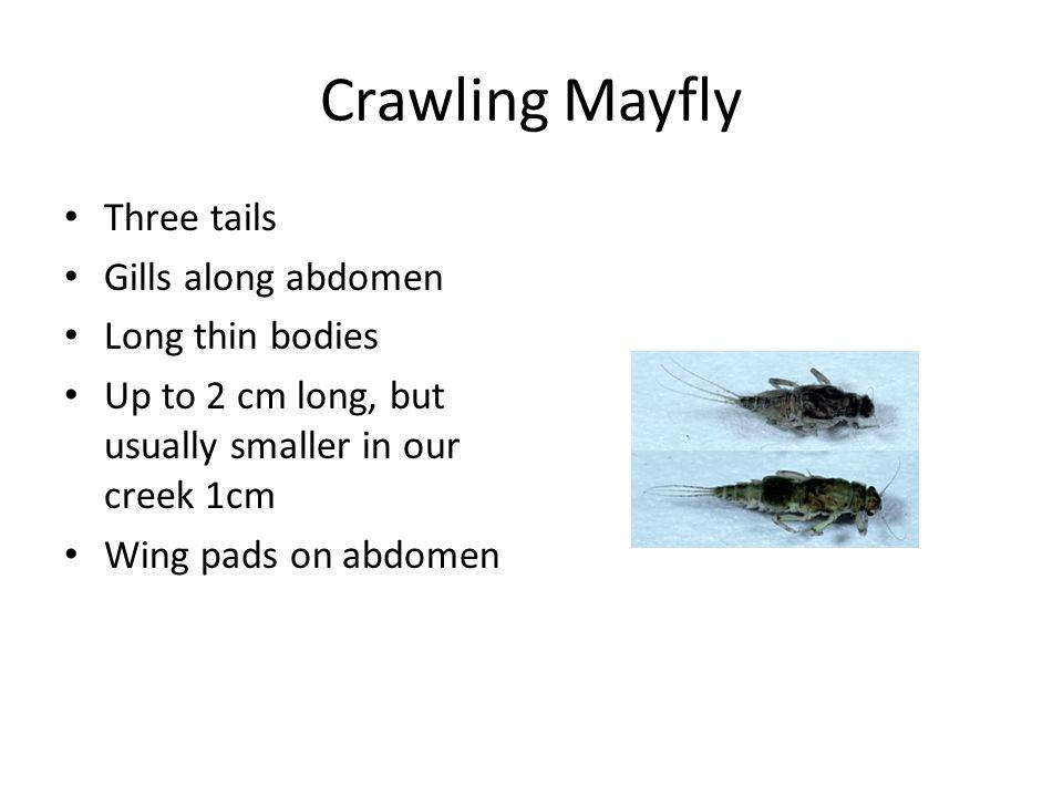 Crawling Mayfly Three tails Gills along abdomen Long thin bodies