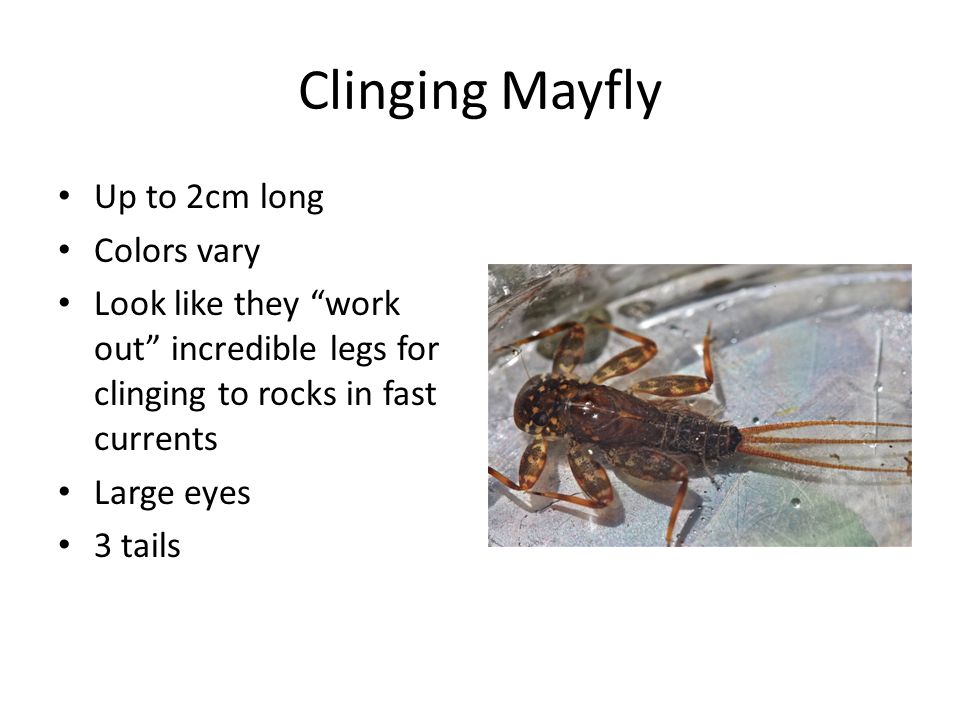 Clinging Mayfly Up to 2cm long Colors vary