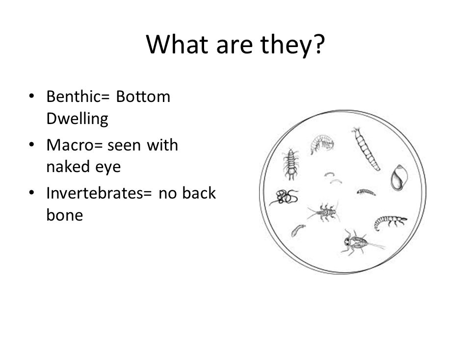 What are they Benthic= Bottom Dwelling Macro= seen with naked eye