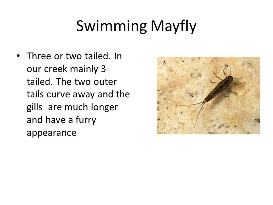 Swimming Mayfly