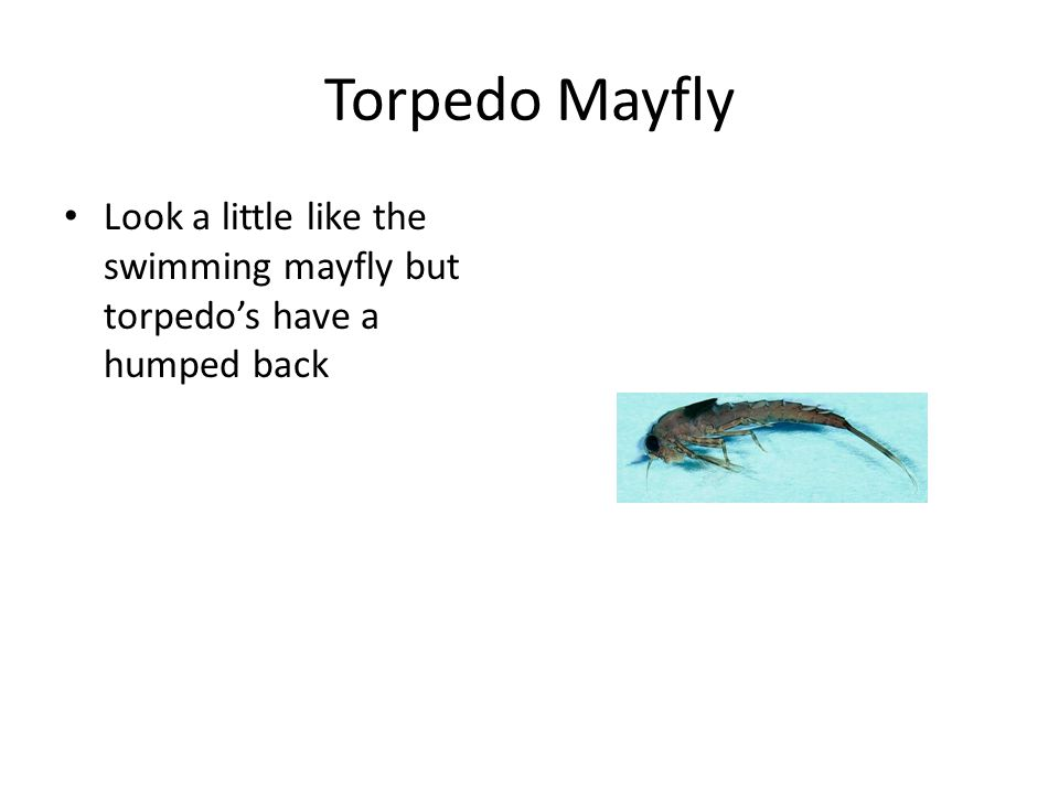 Torpedo Mayfly Look a little like the swimming mayfly but torpedo's have a humped back