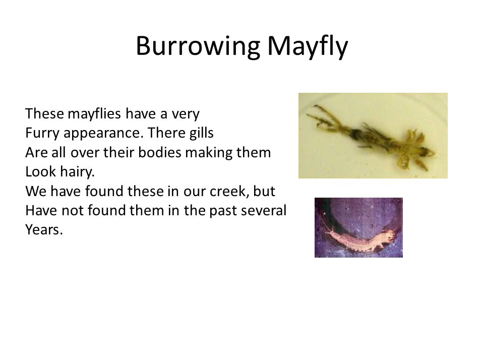 Burrowing Mayfly These mayflies have a very
